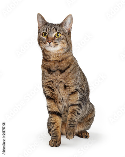 Brown Tabby Cat Lifting Paw Wallpaper Mural