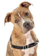 Cute Friendly Brown Dog Wearing Harness
