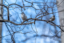 Two Tufted Titmouse (Baeolophus Bicolor) Birds Perched On Branches.