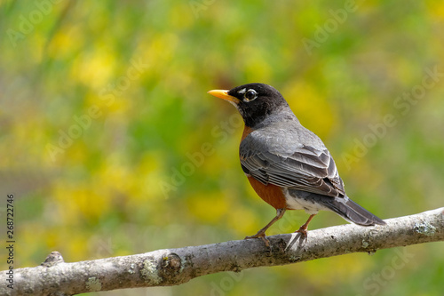 Obraz na plátne American robin, Turdus migratorius, songbird perched on a branch with yellow for