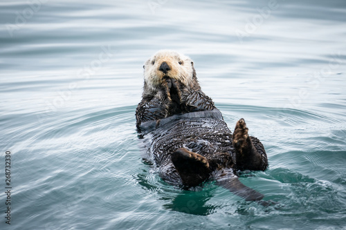 Alaska Sea Otter Wallpaper Mural
