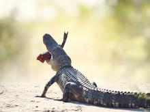 American Alligator Eating Fish...