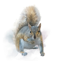 American Gray Squirrel On Whit...