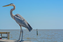 A Great Blue Heron On Jim Simpson Sr Fishing Pier, Harrison County, Gulfport, Mississippi, Gulf Of Mexico USA