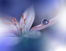 Beautiful Blue Nature Background.Close Up Photography.Abstract Macro Photo Of Amazing Spring Magic Flowers.Art Design.Fantasy Floral Art.Creative Artistic Wallpaper.Colorful Water Drop.White Flower.