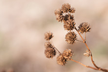 Dry Flower, Grass Meadow Outdoor. Vintage Filter