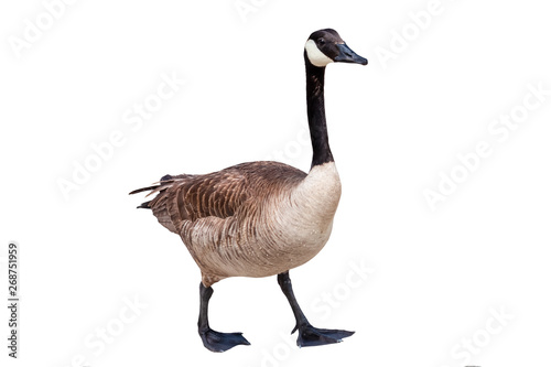 Canada goose cutout on a white background Fototapet