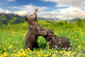 Brown bear cub playing on t...
