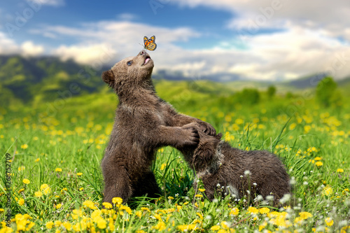 Brown bear cub playing on the summer mountain with butterfly