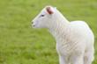 Leinwandbild Motiv white sheep lamb standing on pasture