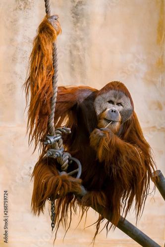 Fototapety, obrazy: Sad looking Sumatran Orangutan (Pongo abelii) in captivity in zoo enclosure. The Orangutan are a critically endangered species.