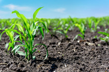 Closeup Of Green Corn Sprouts Planted In Neat Rows Against A Blue Sky. Copy Space, Space For Text. Agriculture. Ukraine