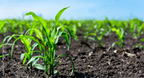 Poster Vegetal Closeup of green corn sprouts planted in neat rows against a blue sky. Copy space, space for text. Agriculture. Ukraine