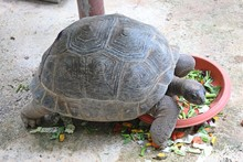 Animal,  It Is Tortoise,  Be Animal That Have A Carapace,  See It At KHON KAEN Zoo In KHON KAEN Province THAILAND.