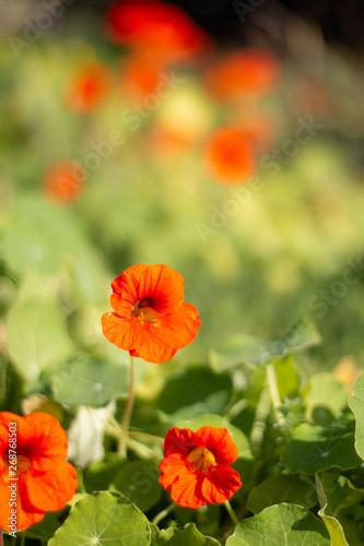 Poster Poppy Nasturtium Flower
