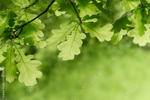 Fotografie, Obraz Green oak leaves background. Plant and botany nature texture