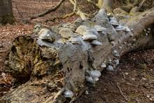 Zunderschwamm (Fomes Fomentarius) An Einem Baumstamm, Granitz, Naturschutzgebiet, Insel Rügen, Biosphärenreservat Südost-Rügen, Mecklenburg-Vorpommern, Deutschland, Europa