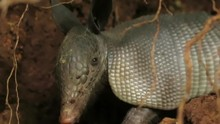HD Footage Of Young Armadillo ...