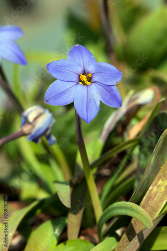 Ipheion 'Jessie'  a spring blue perennial flower plant commomly known as starflo Canvas Print