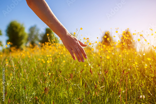 Poster Miel Young woman walking in spring field at sunset among fresh grass and touching yellow flowers.