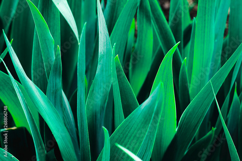 Photo sur Toile Les Textures The leaves of the flower gladiolus flowerbed
