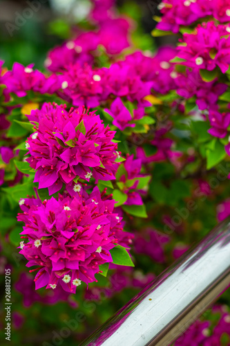 Photo colorful blooming bougainvilleas in garden.