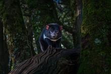 Tasmanian Devil, Tasmania