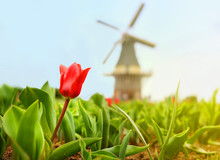 Red Tulip With Old Dutch Windm...