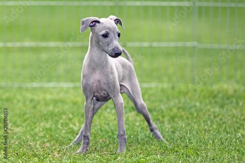 Valokuva Kleiner Windhund