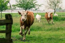 Kühe Rennen Auf Der Weide