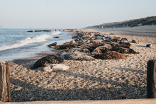 Seals Basking In The Sun By The Water On Horsey Beach, Norfolk, UK, In Spring.