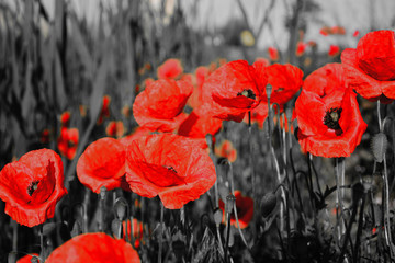 Fototapetared poppies on black and white background