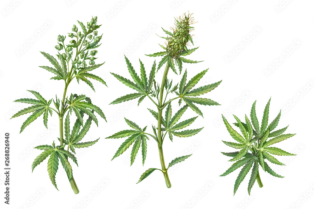 Fototapety, obrazy: Set of Male and Female Cannabis Plant Pencil Illustrations Isolated on White