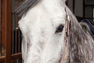 Muzzle of a gray horse standing in a stable