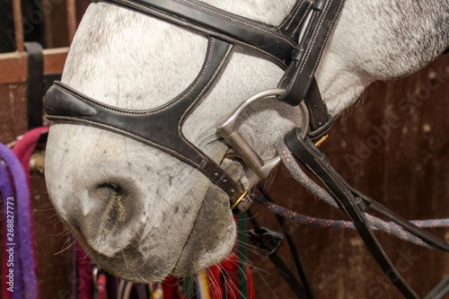 Obraz na plátne Nose of a gray horse in a bridle with a double capsule