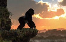 A Silverback Gorilla Stands On...