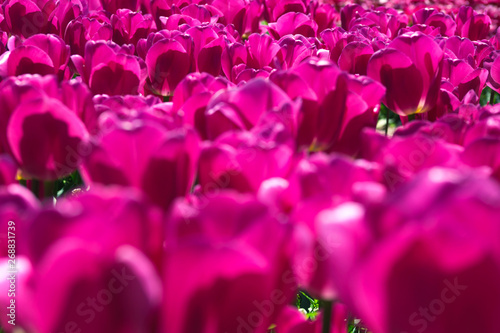 Spoed Fotobehang Roze Purple flower tulips on the background of tulips. Tulip field. Growing flowers in spring. Close up tulip.