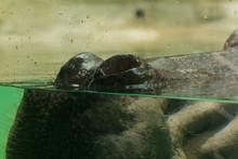 Hippopotamus's Nose Is In The Water