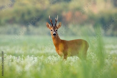 Foto op Plexiglas Ree Strong roe deer, capreolus capreolus, buck with dark antlers on a meadow with wildflowers early in the morning. Wild roebuck in summer with green blurred background.