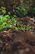 Grass sprouting from soil in garden