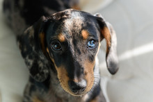 Motley Dachshund With Blue Eye