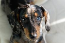 Motley Dachshund With Blue Eye