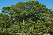 Big Trees In Corcovado NP On P...