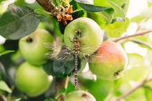 Horizontal Macro Of Apple With Dragonfly Perched On It