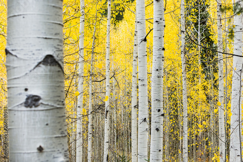 White quaking aspens in the fall with bright yellow leaves