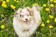 Miniature Australian Shepherd Looking Into The Camera In A Field Of Dandelions With Its Tongue Out