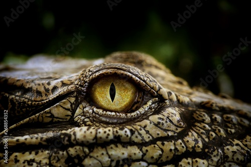 Keuken foto achterwand Krokodil Close up of the yellow eye crocodile. Amazing animal planet ideas concept and free space for text.