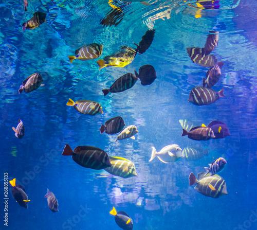 Valokuvatapetti beautiful underwater shot with a big school of surgeon fishes, marine life backg