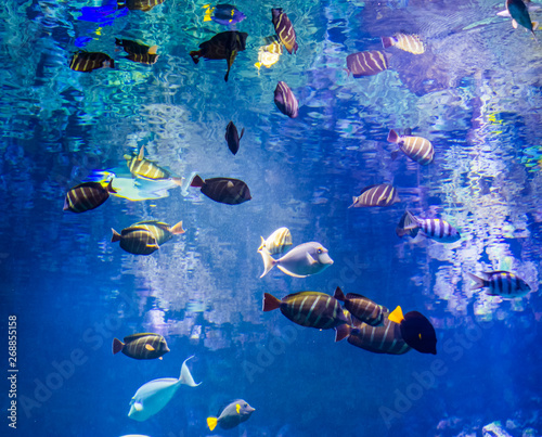 marine life background, shoal of surgeon fishes swimming together underwater, be Canvas-taulu