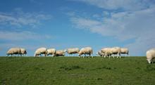 Sheep On The Dike Of Ameland